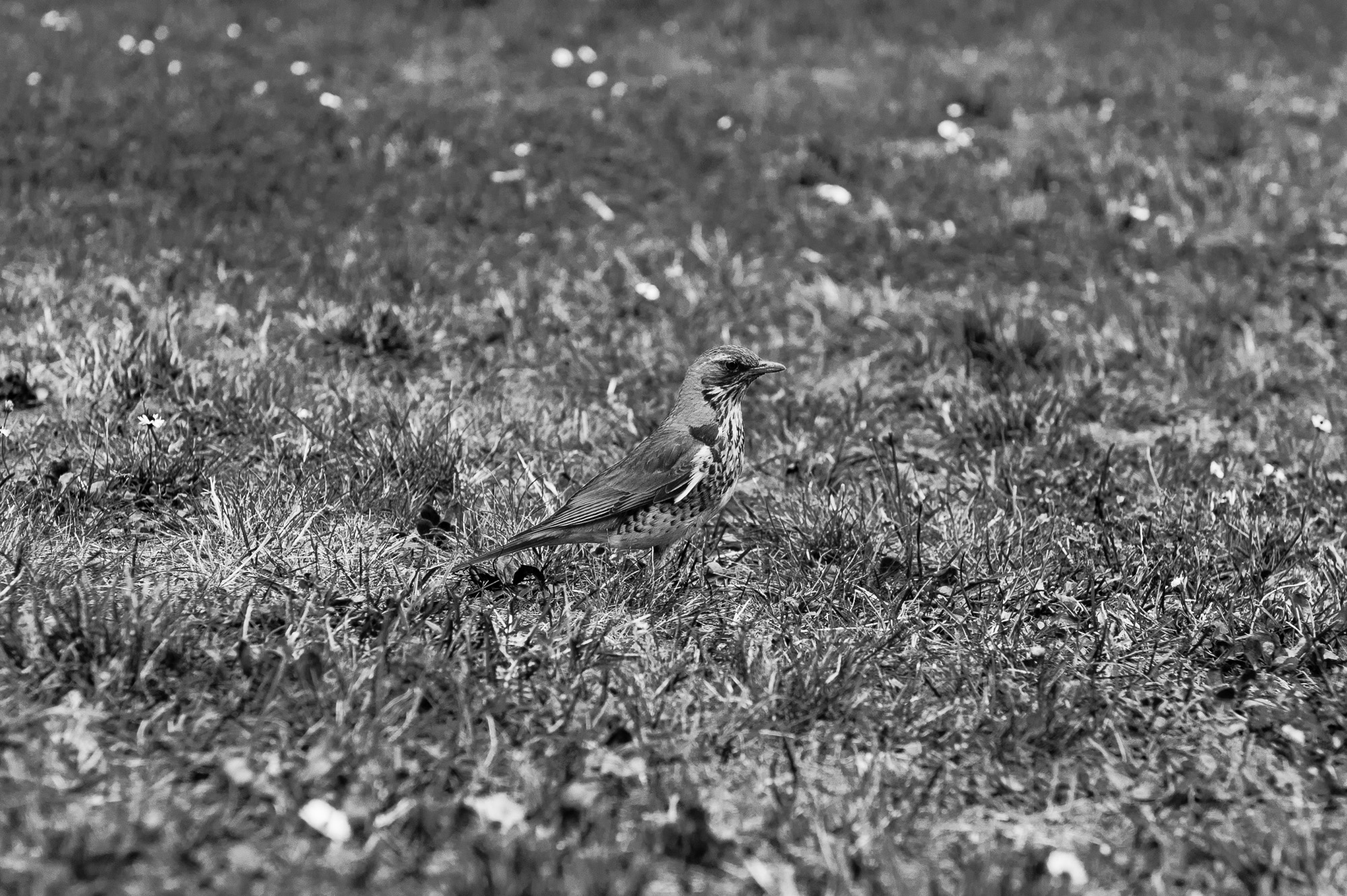 bird_invisible_bw